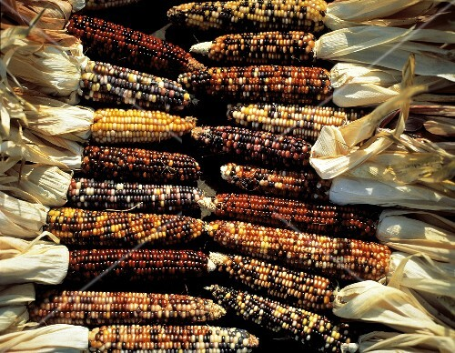 Several Ears of Indian Corn