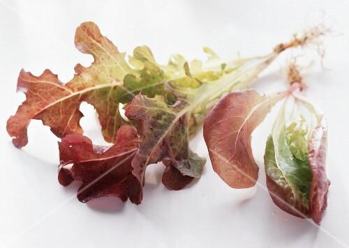 ein pfl nzchen eichblattsalat mit wurzeln bild kaufen 142860 stockfood. Black Bedroom Furniture Sets. Home Design Ideas