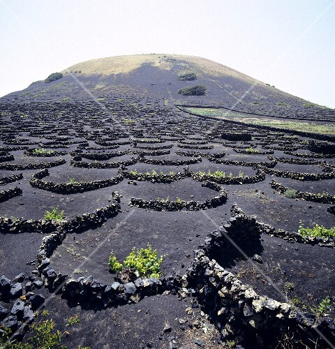Wine growing in Lanzarote, Spain (3)