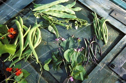 Four different types of green beans with leaves & flowers
