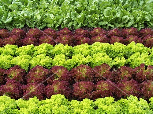 Lettuce field (detail)