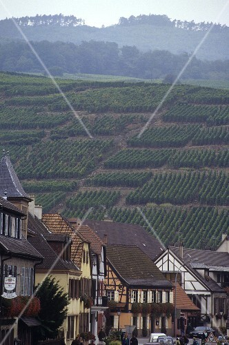 View of vineyard from Ribeauvillé, Alsace, France