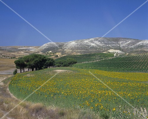 Vineyards near Pinel de Abajo, Ribera del Duero, Spain