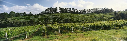 Vineyard of Sapich Estate, Henderson, Auckland, N. Zealand