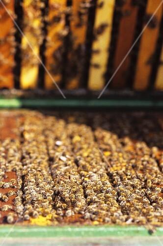 viele fleissige bienen in einem bienenstock bild kaufen 301718 stockfood. Black Bedroom Furniture Sets. Home Design Ideas
