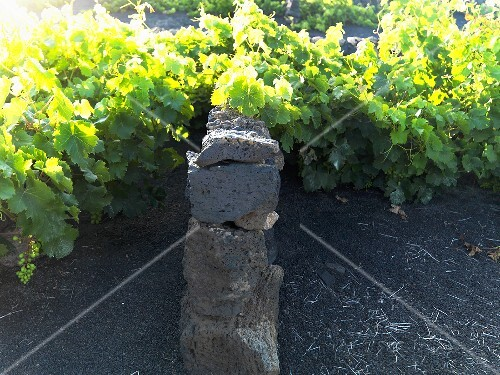 Vines, Lanzarote