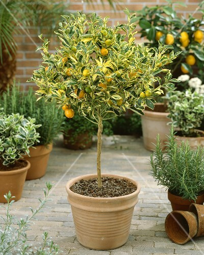 calamondin tree citrus mitis calamondin variegata buy images stockfood. Black Bedroom Furniture Sets. Home Design Ideas
