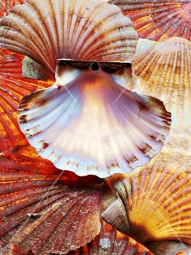 Scallop shells (full-frame)