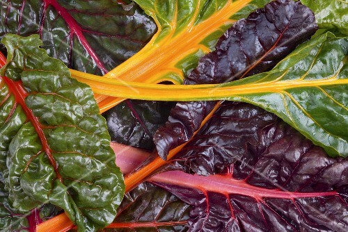 Organic Red and Yellow Swiss Chard Growing in the Garden