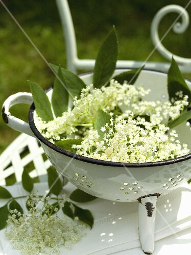 Fresh elder flowers in a sieve