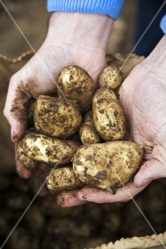 Hands holding freshly-dug Jersey Royals