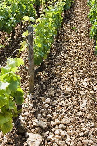 Stoney terroir in the Chambertin region, Burgundy, France