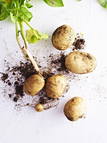 New potatoes with leaves and earth