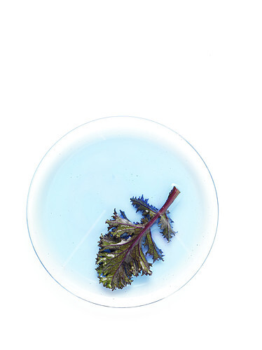 Red kale cabbage leaf on a blue circle