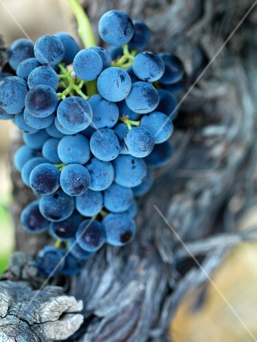 Bunch of black Grenache grapes on the vine