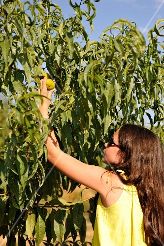Young girl picking a fruit off the tree