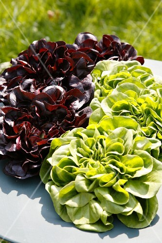 Assorted lettuces outdoors