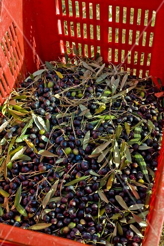 Crate of Fresh Picked Olives