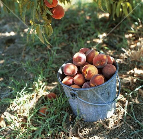 eimer mit frisch geernteten pfirsichen unter pfirsichbaum. Black Bedroom Furniture Sets. Home Design Ideas