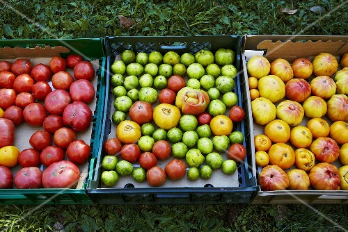 Trays of Harvested Heirloom Tomatoes, Outdoors