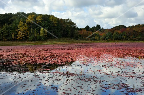 Cranberry Bog Ready for Harvest