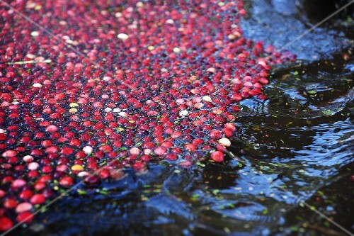 Cranberries Floating on Surface of Blog