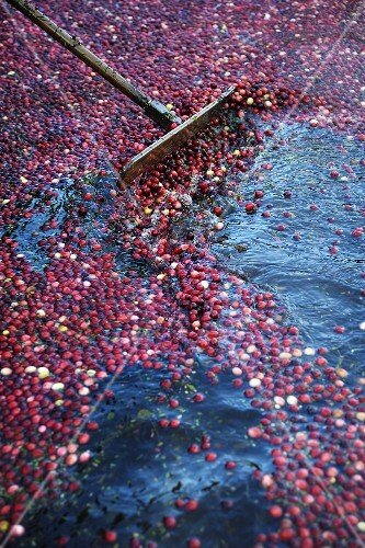 Cranberries in a Bog Being Harvested