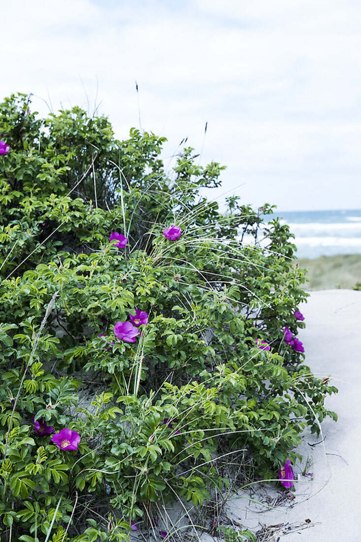 Bright Beach Roses