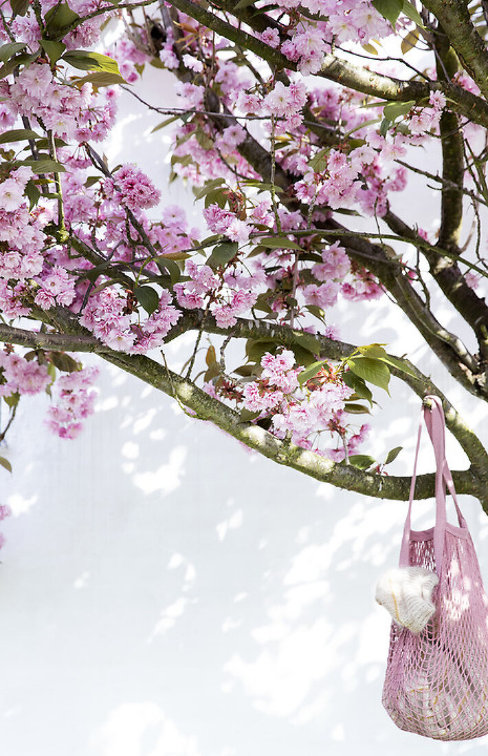 Cherry Trees when most beautiful