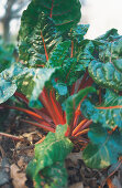 Grow your own: Swiss chard