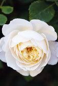 Austin Roses