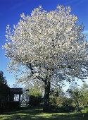 The Flowering Trees
