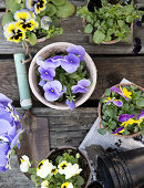 Sweet and Charming Pansies
