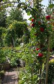 Roses and Perennials
