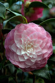 Camellia - The Beauty of Winter
