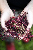 Wild Nordic Elderberries