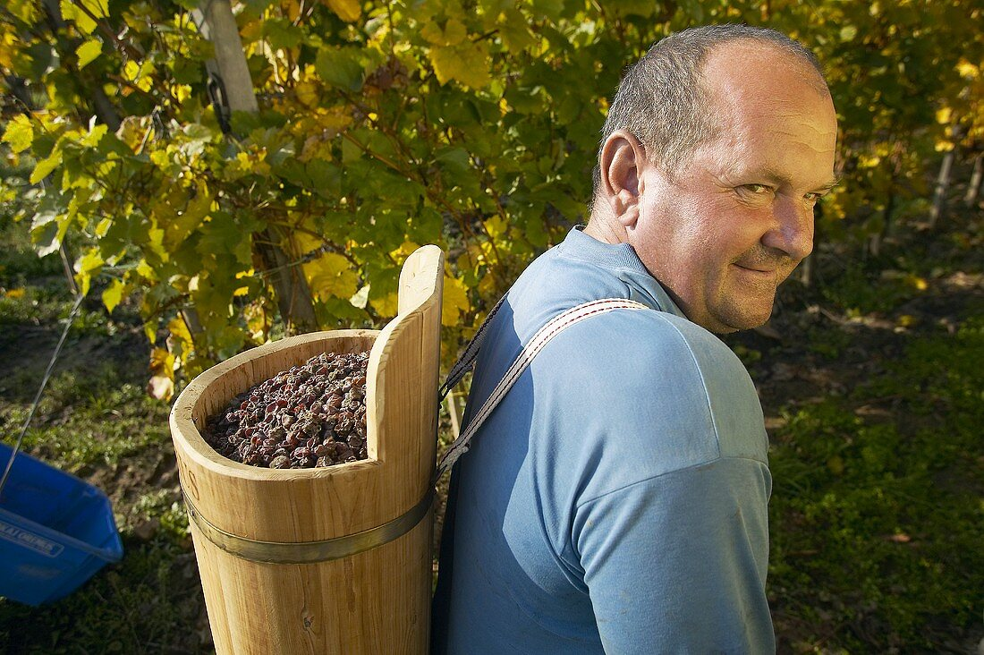 Picking botrytised grapes for Aszu, Oremus Winery, Tolcsva, Hungary