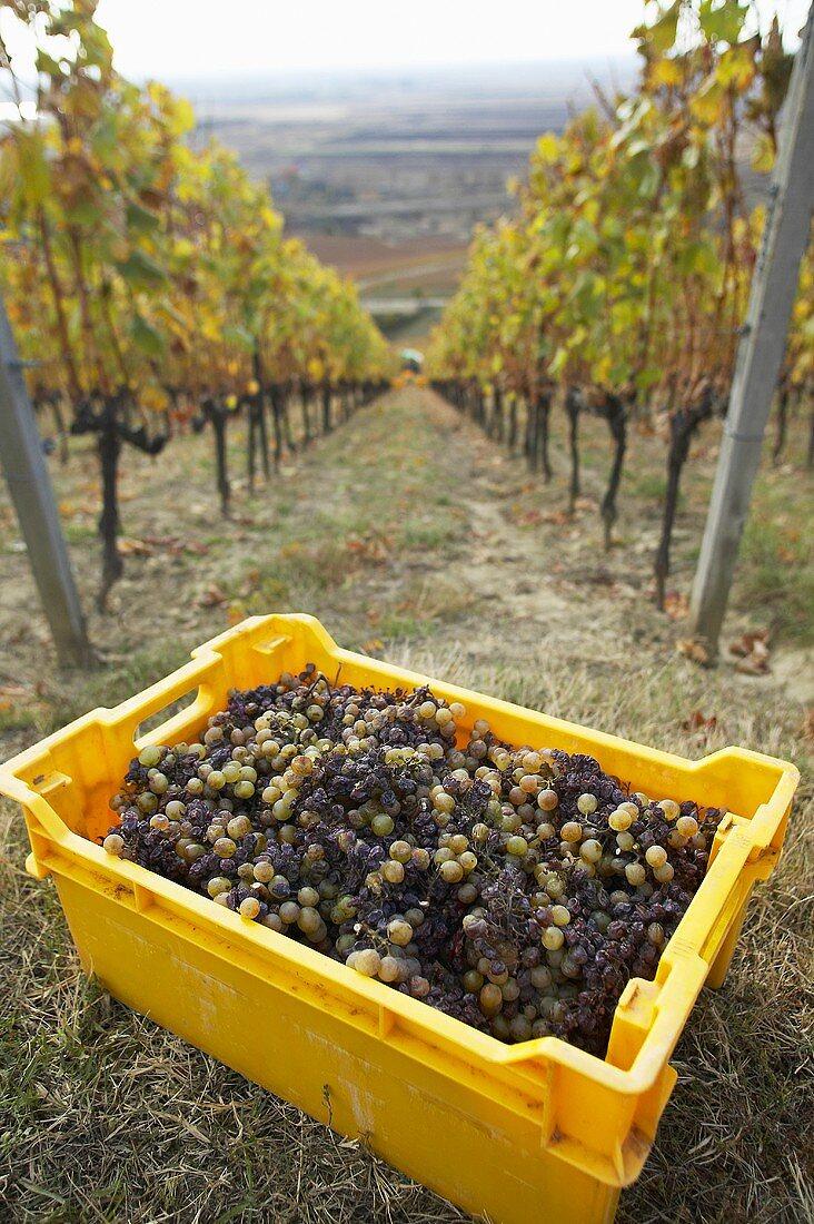 Harvested grapes on Hetszolo Estate, Tokaj, Hungary