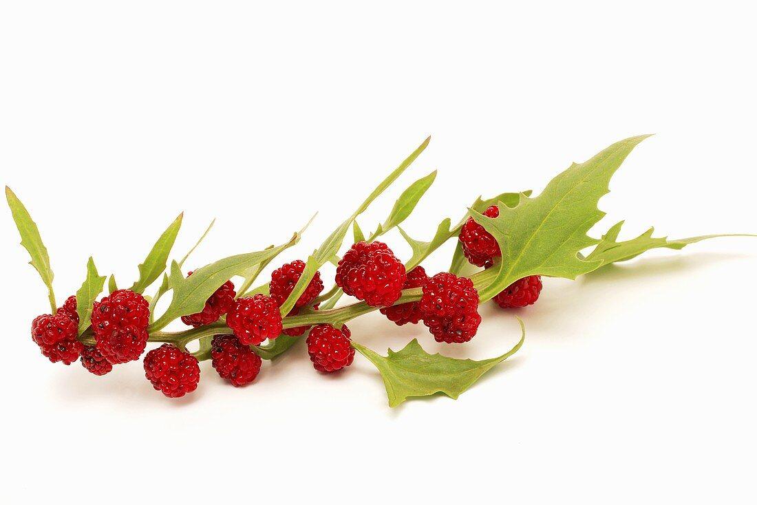 Strawberry spinach (Chenopodium capitatum)