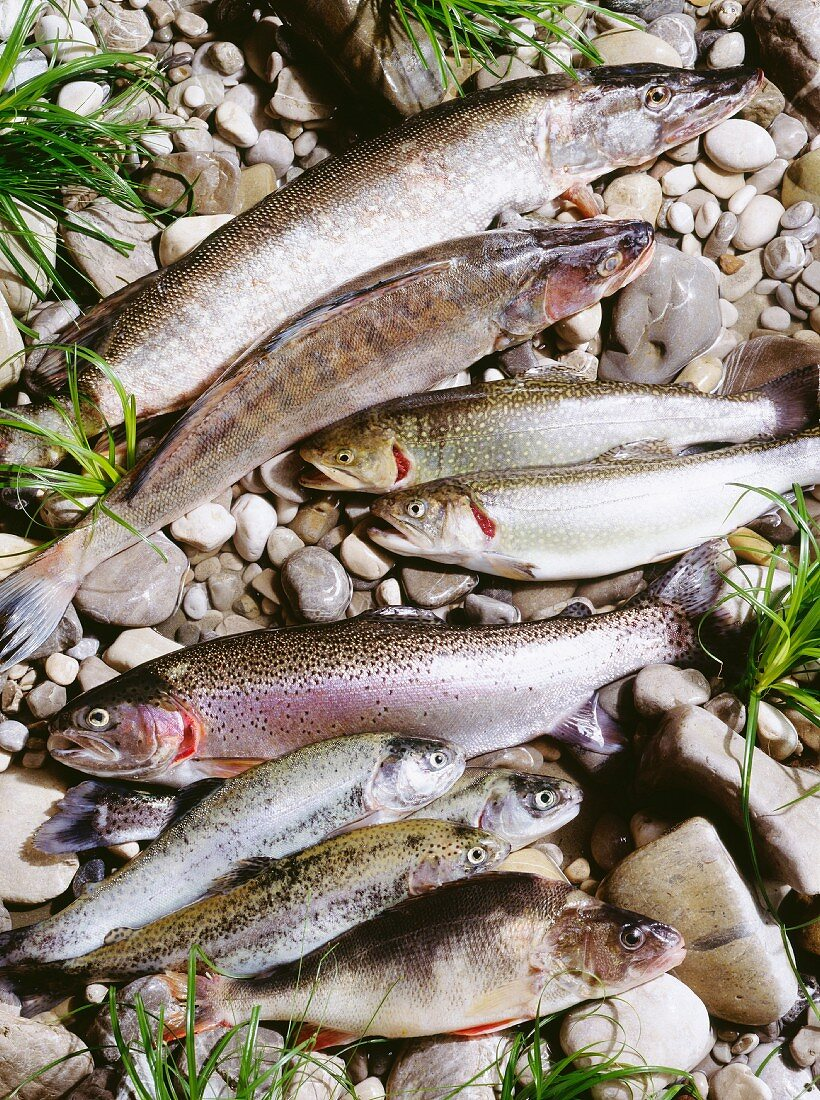 Assorted Fresh Water Fish; Stream