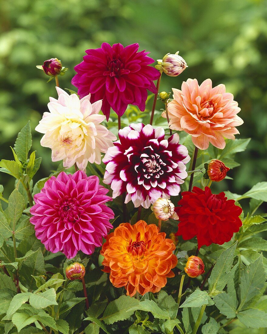 Bunch of dahlias