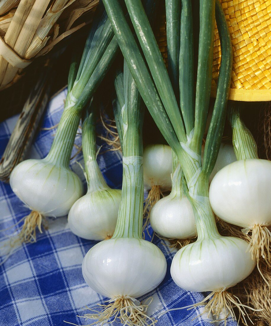 Spring onions, variety 'Blanc de Barletta'