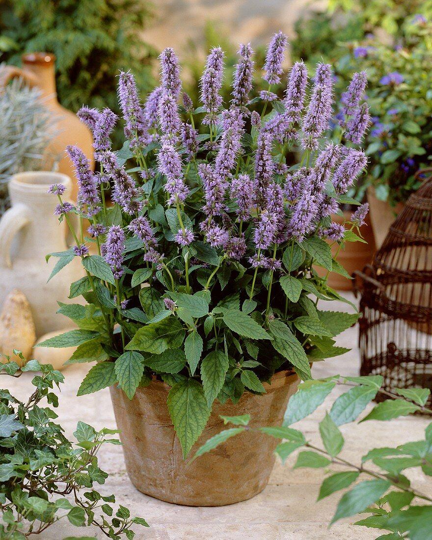 Blue calamint in flowerpot