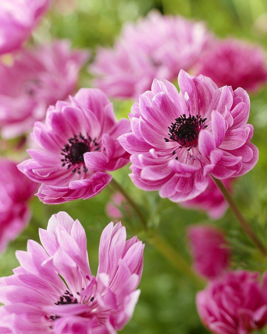 Pink anemones, variety 'Admiral'