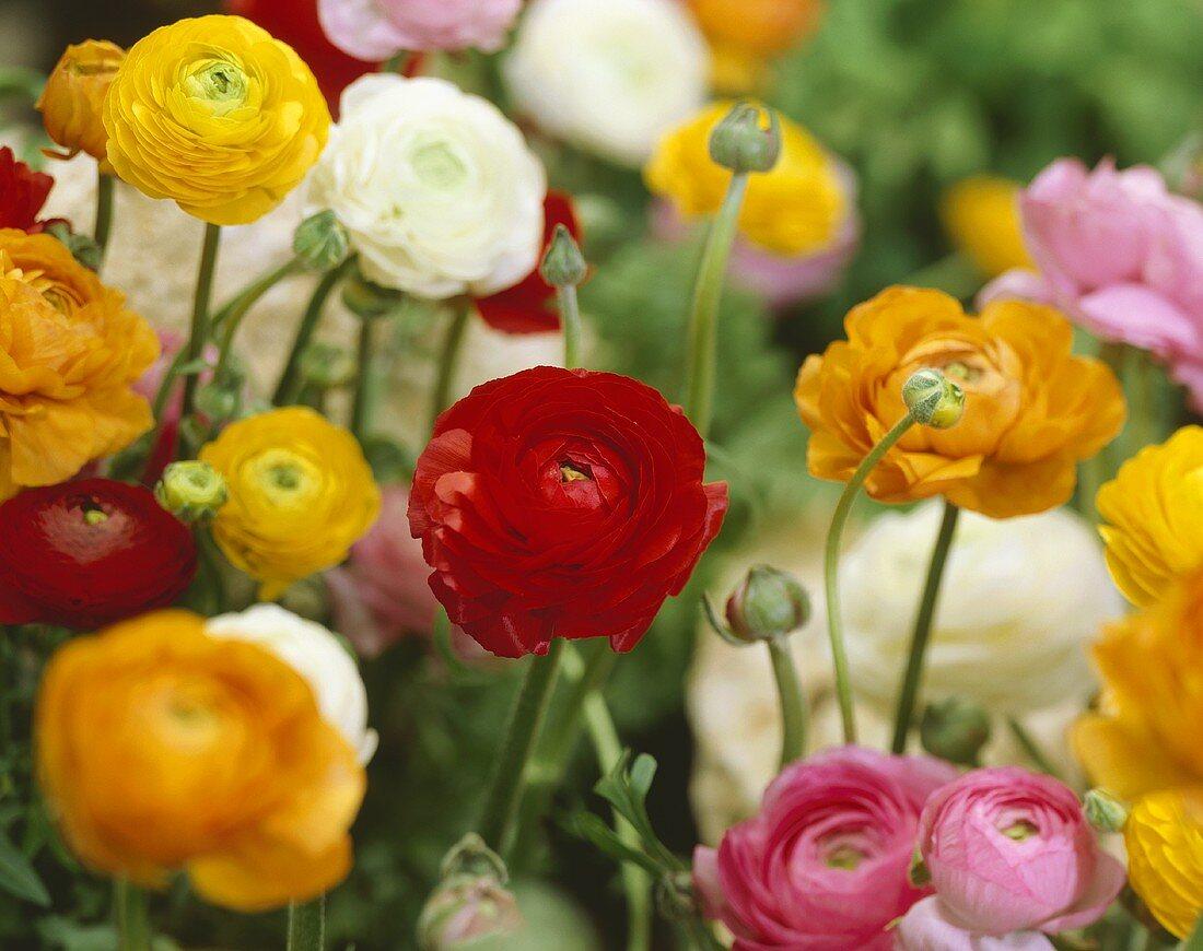 Ranunculus in various colours