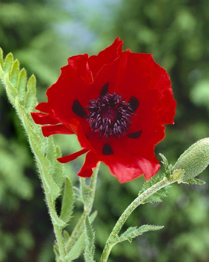 Oriental poppy (Papaver orientale 'Beauty of Livermere')