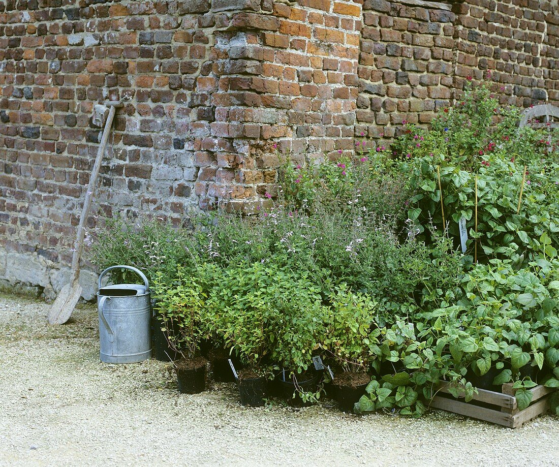 Various herbs out of doors