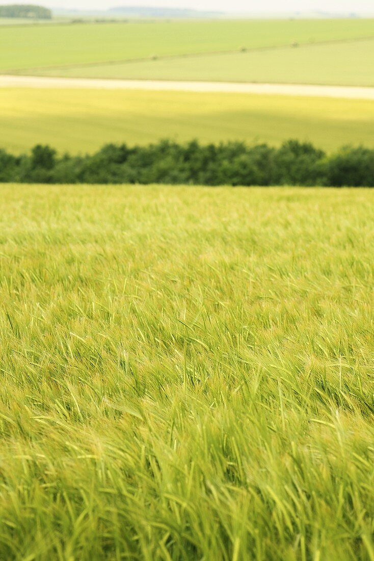 A field of winter barley swaying in the wind
