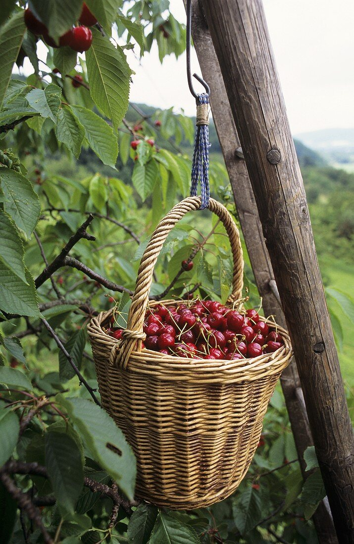 A basket of freshly picked cherries hanging on a ladder