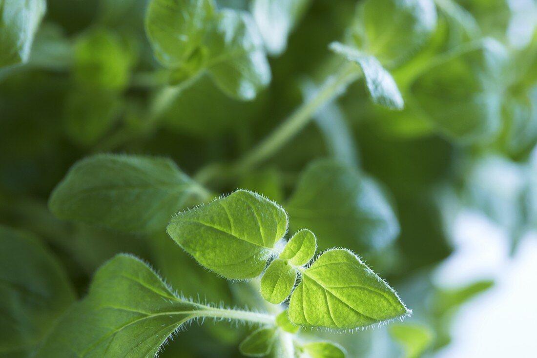 Fresh oregano (close-up)